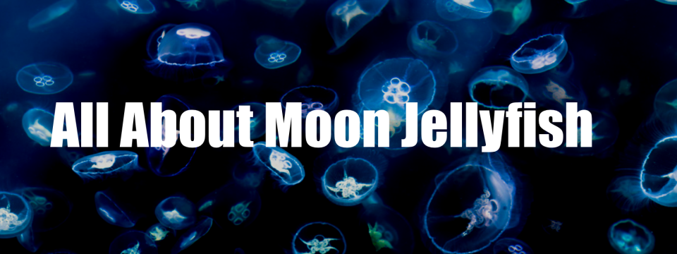 All about Moon Jellyfish